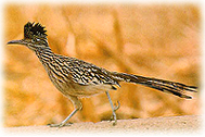 The unusual Roadrunner, the state bird of New Mexico.